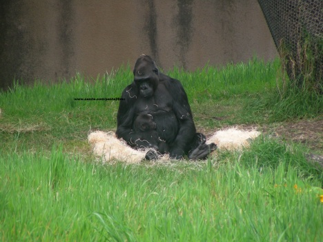 001 baby gorilla 001