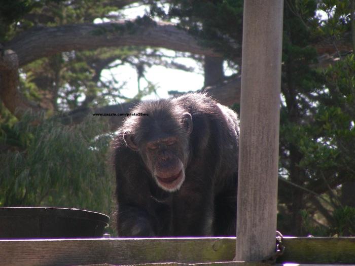 003 chimp 001