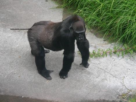 005 gorillas 001