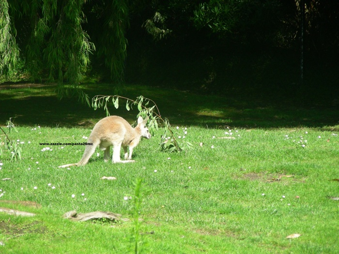 006 kangaroo 001