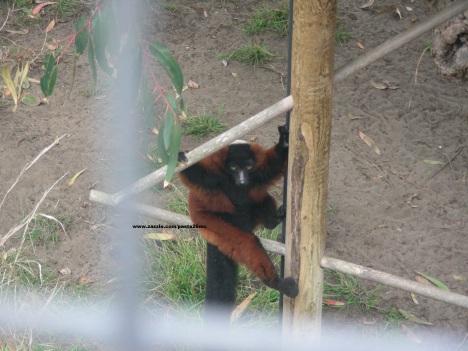 007 lemurs 001