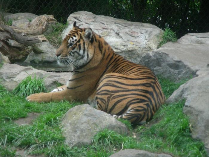 010 tiger 001