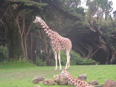 014 giraffes 002