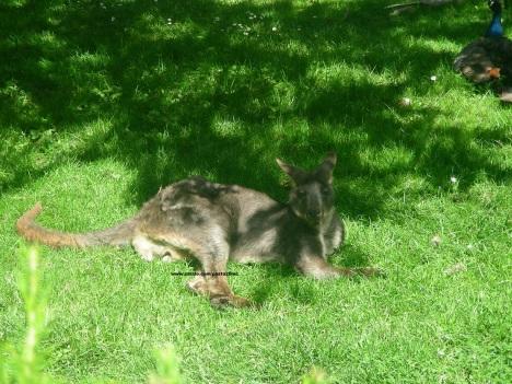 016 kangaroo 002