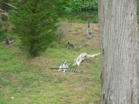 017 lemurs 002