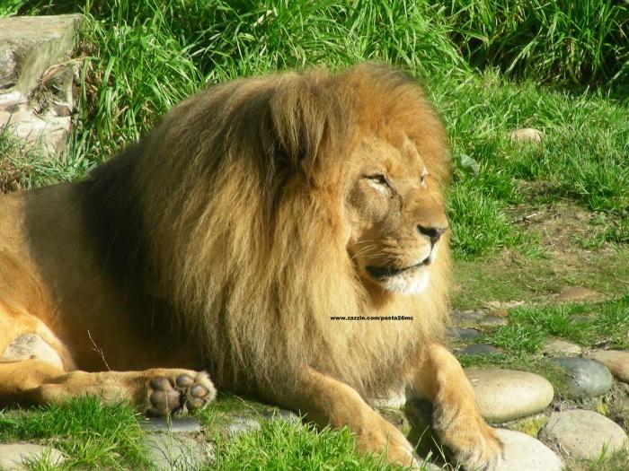 018 lions 002