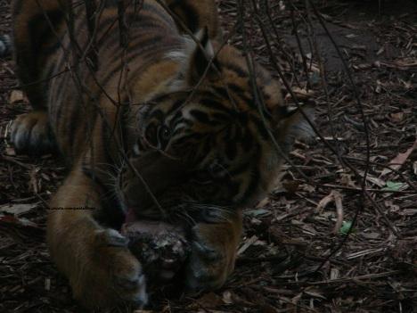 020 tiger 002