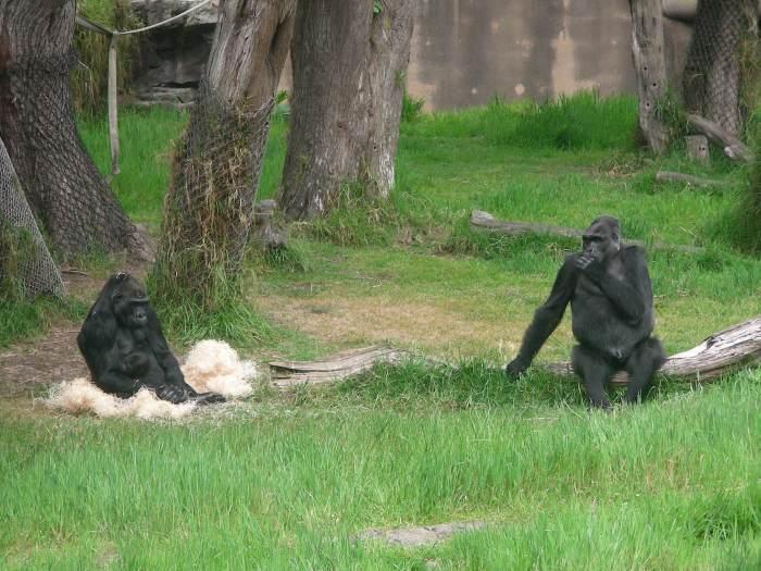 baby gorilla 002
