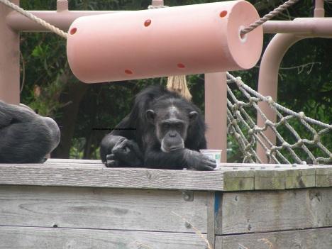 chimp 002