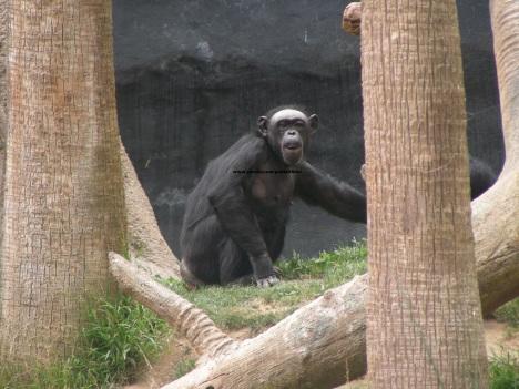 023 chimp 003