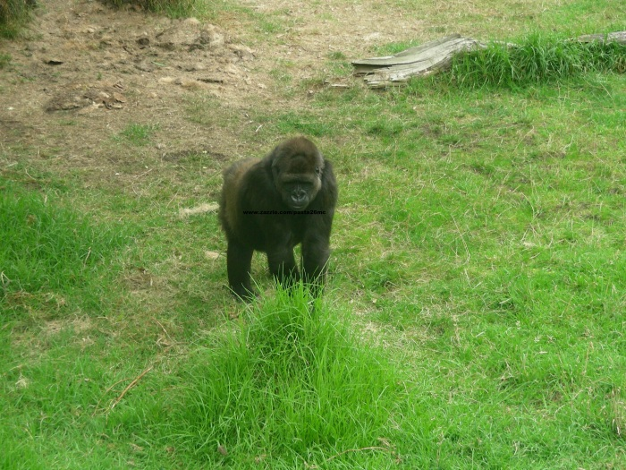 025 gorillas 003
