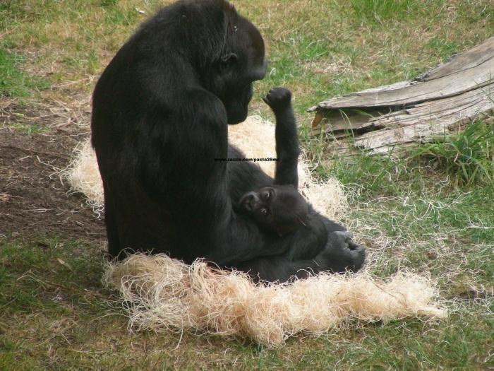 021 baby gorilla 003