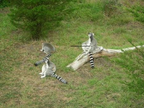 26 lemurs 003