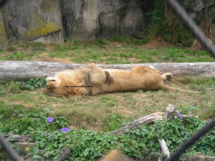 27 lions 003