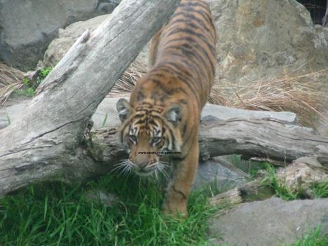29 tiger 003