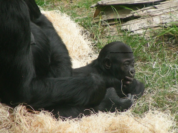 030 baby gorilla 004