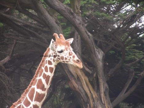 032 giraffes 004