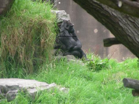 033 gorillas 004