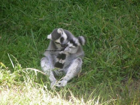 034 lemurs 004