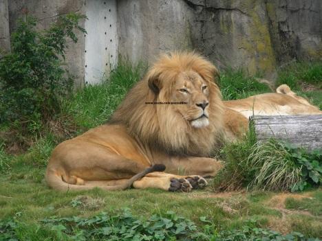 035 lions 004