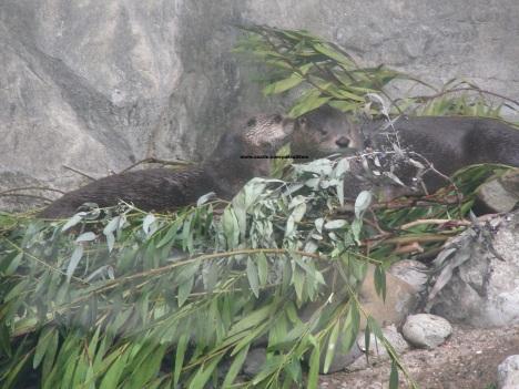 036 otters 004