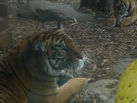 037 tiger 004