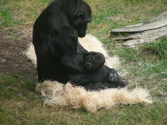 038 baby gorilla 005