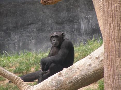 040 chimp 004