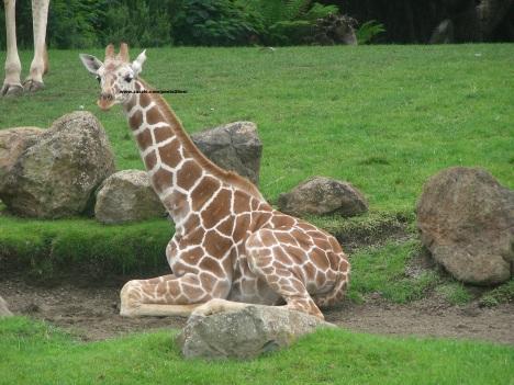 041 giraffes 005