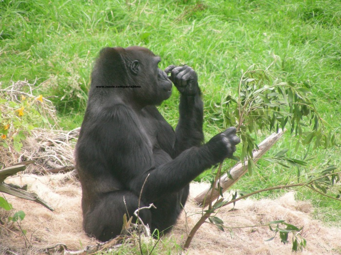 042 gorillas 005