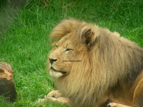 044 lions 005