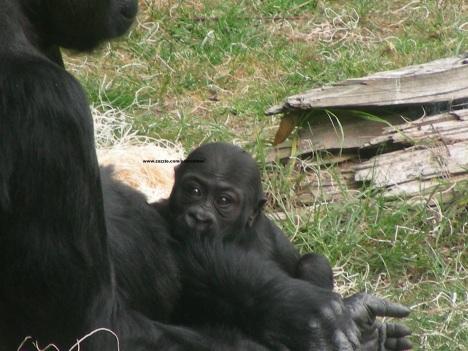 046 baby gorilla 006