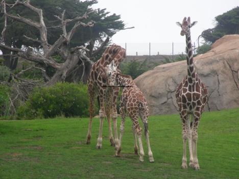 048 giraffes 006