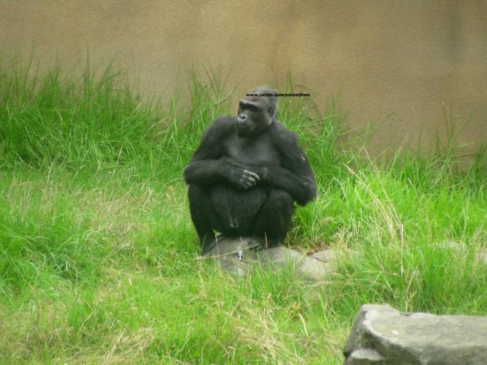 049 gorillas 006