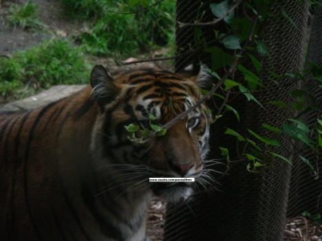 050 tiger 006