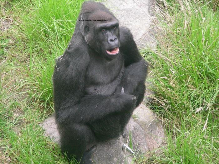 053 gorillas 007