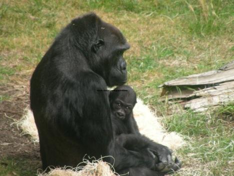 054 baby gorilla 007