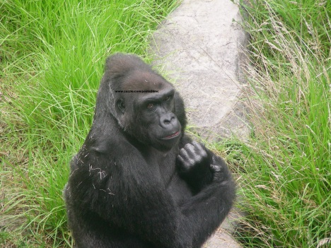 057 gorillas 008