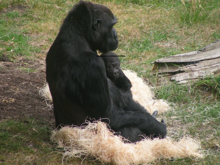 058 baby gorilla 008