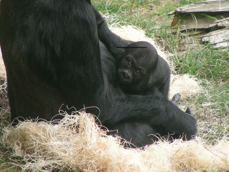 060 baby gorilla 009