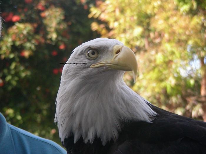 061 birds 009 bald eagle