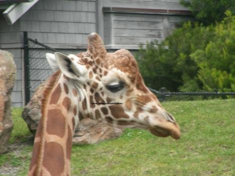 062 giraffes 009