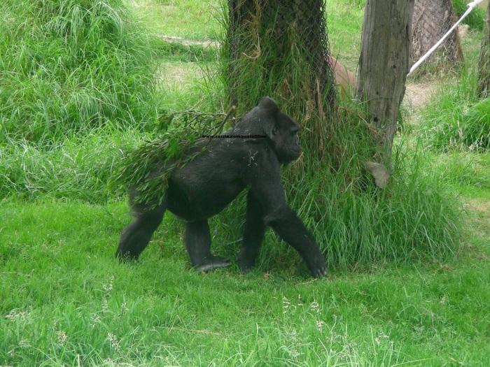 063 gorillas 010