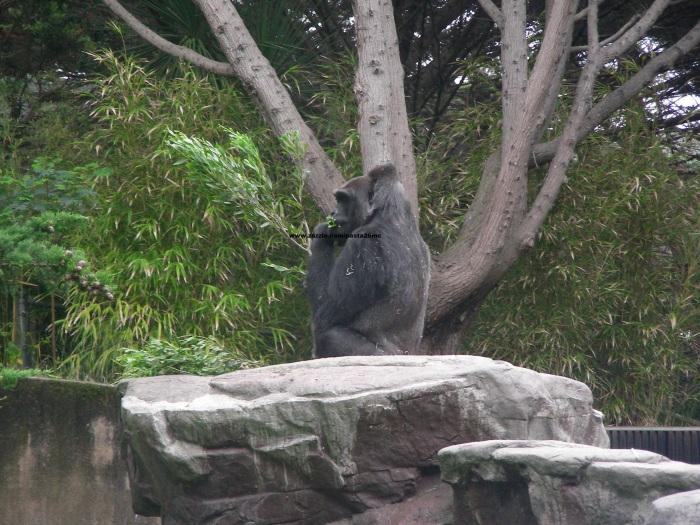 064 gorillas 011