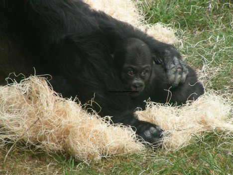 065 baby gorilla 010