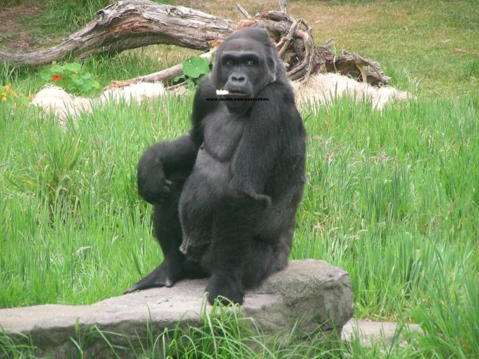 067 gorillas 012