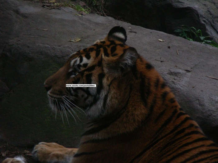 068 tiger 007