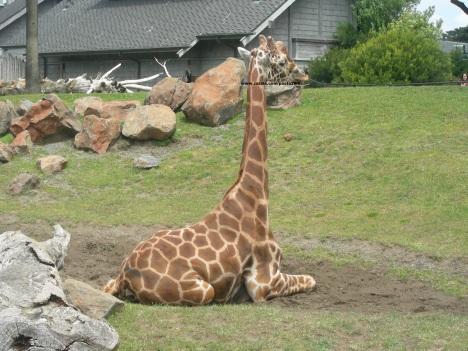 069 giraffes 010