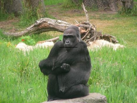 070 gorillas 013