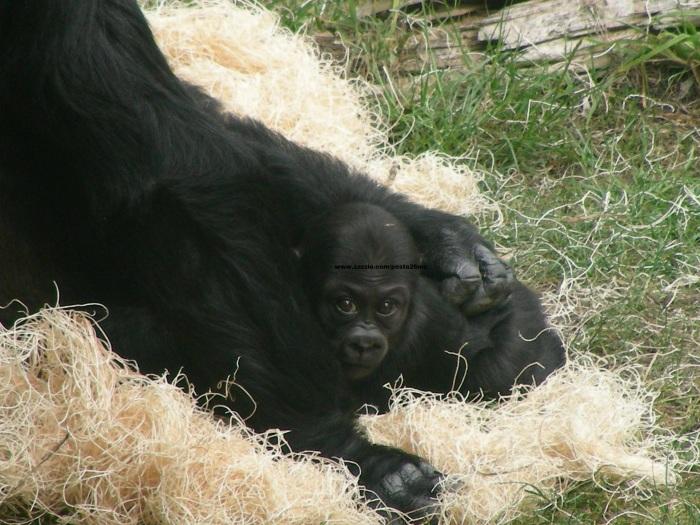 071 baby gorilla 011